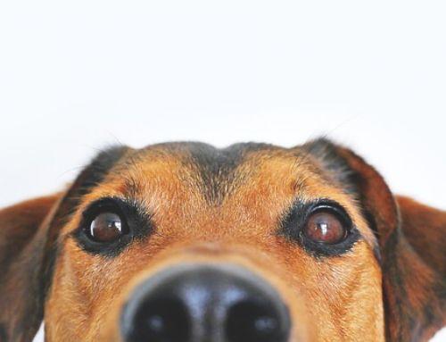 In mei gaan controleurs op pad voor de hondenbelasting
